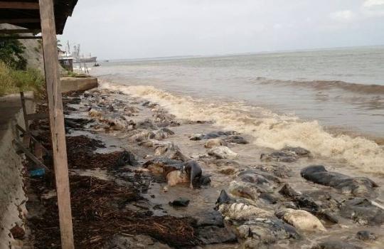 Carcaças de animais continuam expostas em praias de Barcarena
