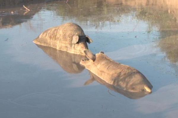 """No """"piscinão dos porcos"""", a contaminação fatal"""