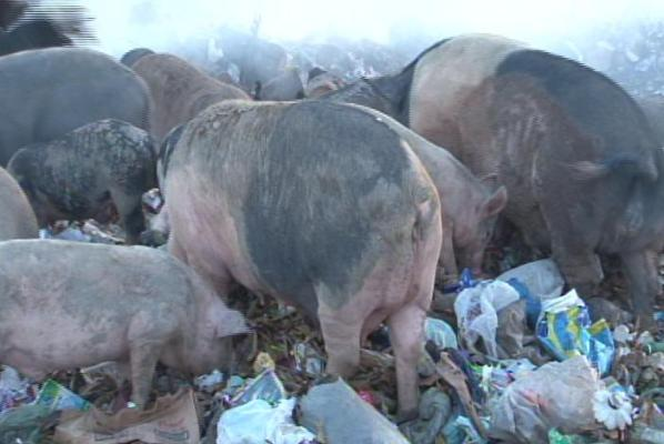 Tailândia Porcos 3