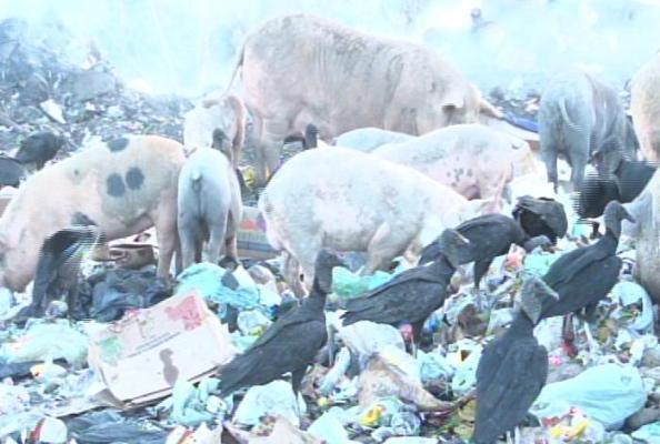 Animais se alimentam de fezes e lixo.